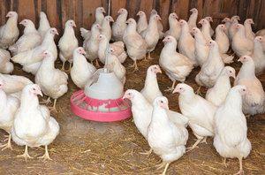 Непълнолетни кокошки носачки - разлики от възрастни кокошки