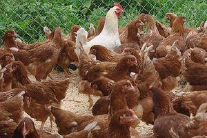 На снимката са показани млади пилета