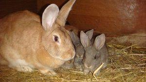 Коли отсаживать кроленят від кролиці