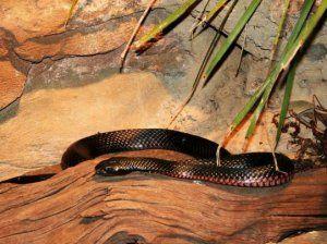 Кого змиите ядат. Защо змиите сами се хранят