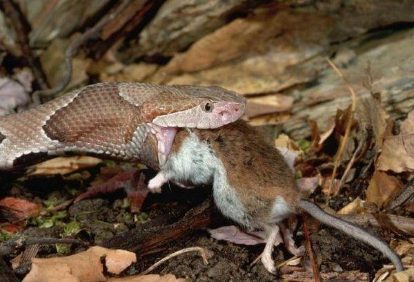 Ako hady jedia