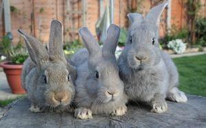Кокцидіоз у кроликів і курчат: симптоми і лікування