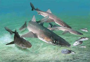Žraloky katrana