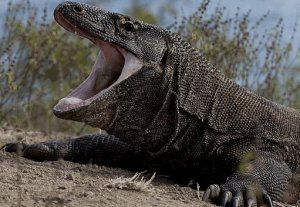 Комодо, или гигантски индонезийски монитор гущер: описание, размер, опасност за хората