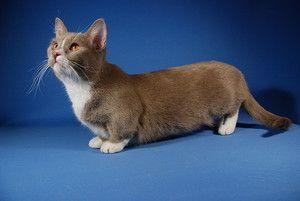 Порода munchkin - котки с къси крака