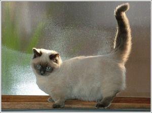 Cat Munchkin - игрив, привързан, общителен.