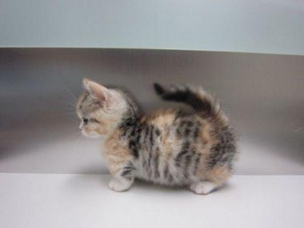 Котета munchkin - красиви и привързани.
