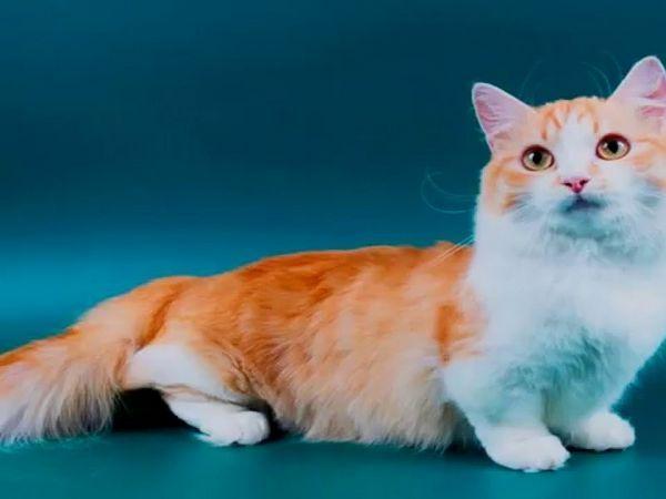 Червената котка Munchkin е ярък представител на породата.