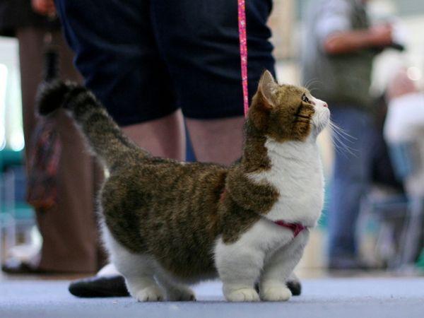 Cat Munchkin може да ходи със собствениците.