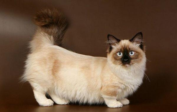 Котка с пухкава опашка и къси крака
