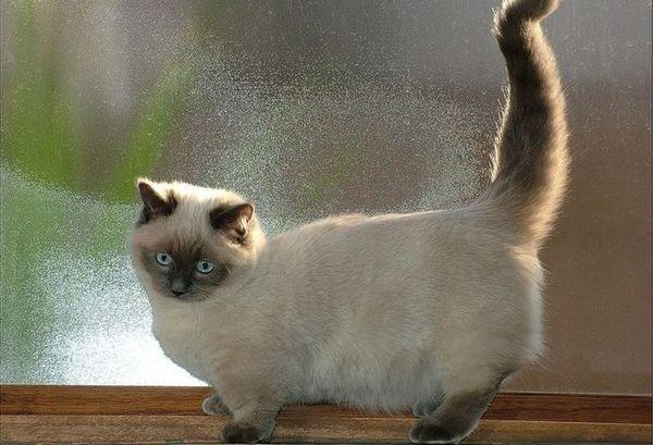 Котешка мрънка