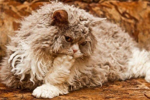Дългокос котка Сукум
