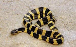 Краища: опасни и отровни змии