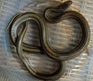 Змия с червена гръб: как изглежда, къде се намира, дали е опасна, как да се грижи вкъщи