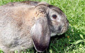 Кролик породи баран - опис і особливості породи