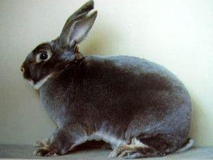 Кролики породи рекс: надійний хутро і ніжна тварина