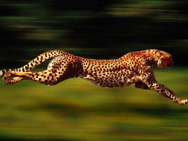 вид леопард