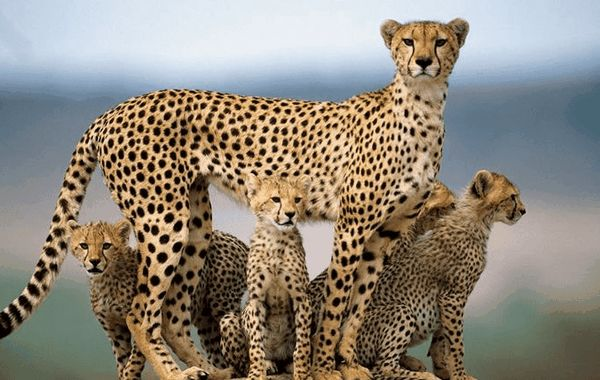 Гепард с кубчета
