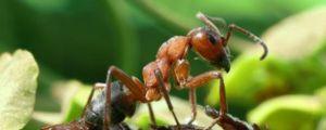 Kto žerie mravce v prírode, čo jedia mravce, stravu