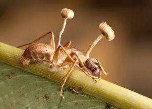 Huby z rodu Cordyceps zabíjajú mravce klíčením