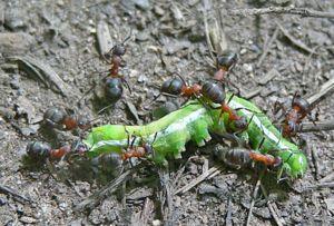 Mravce sú všežravé - živia sa zdochlinami, bielkovinami a rastlinnými potravinami