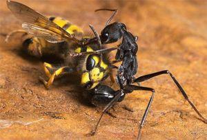 Mravce môžu jesť hmyz, ktorý má oveľa lepšiu veľkosť a silu.
