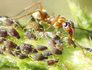 Zaujímavá symbióza mravcov a vošiek - mravce sa o ne starajú kvôli lahodnej medovici