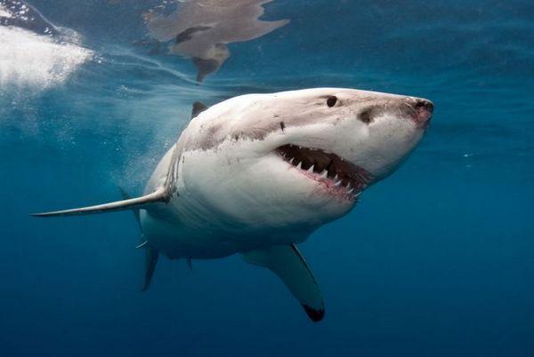 Biely žralok
