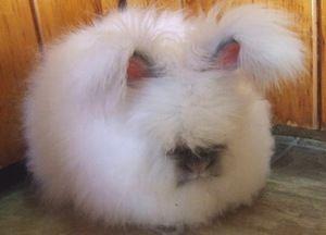 Хто такі ангорские пухнасті кролики і як їх утримувати