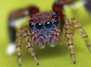 Kto skáču pavúky a kde žijú?