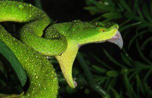 Копчета или змиеносещи змии: как изглеждат, къде се срещат, как да се грижат у дома