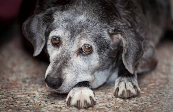 Leukémia u psov - prehľad o zákernej chorobe