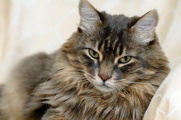 Malassezia (huba) u mačiek: hlavné prejavy a liečebné metódy
