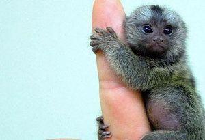 Малка мармузена маймуна: видове, съдържание