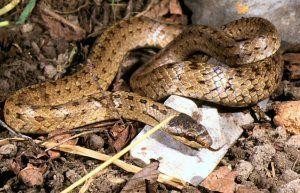 Медянка: как изглежда змия, къде се среща, опасно ли е?