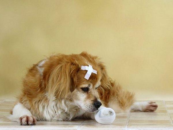 Liečba purulentných rán u psov