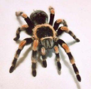 Migalomorfné pavúky