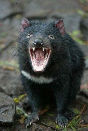 Miniatúrny medveď: je možné mať doma tasmánskeho diabla