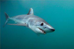 Rýchly žralok predátora - mako