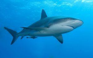 Chrupavkovitý žralok