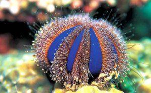 Морски таралежи: плюсове и минуси в съдържанието
