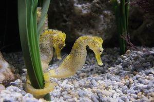 Morské koníky: ako vyzerajú, čo jedia a ako sa chovajú