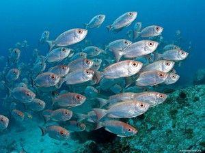 Morské ryby