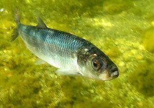Baltský sleď je malá ryba