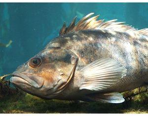 Morský vlk - hlbokomorské ryby
