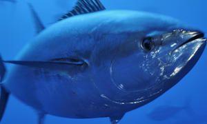 Tuniak - veľkosť rýb
