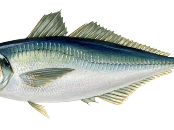 Čierna morská konská makrela