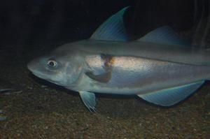 Treska jednoškvrnná, veľkosť rýb