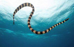 Морските змии: кои са най-отровните?