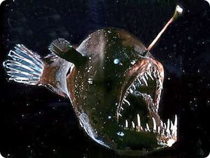 `Морський чёрт`: життєвий цикл риби глибоководний рибалка